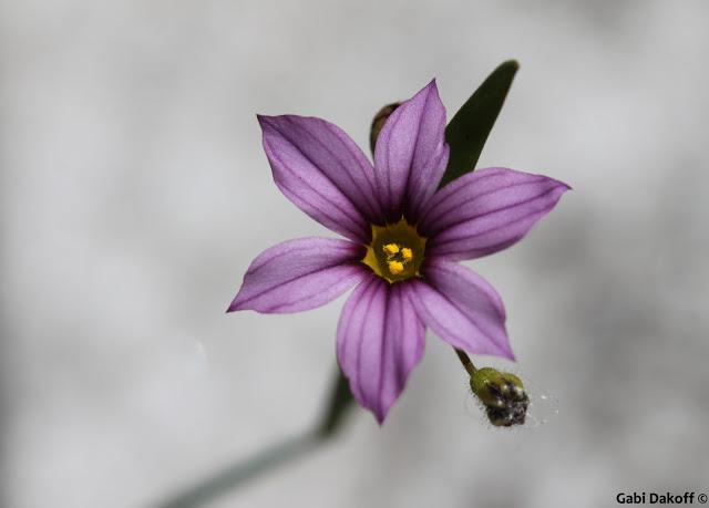 .flor de un dia