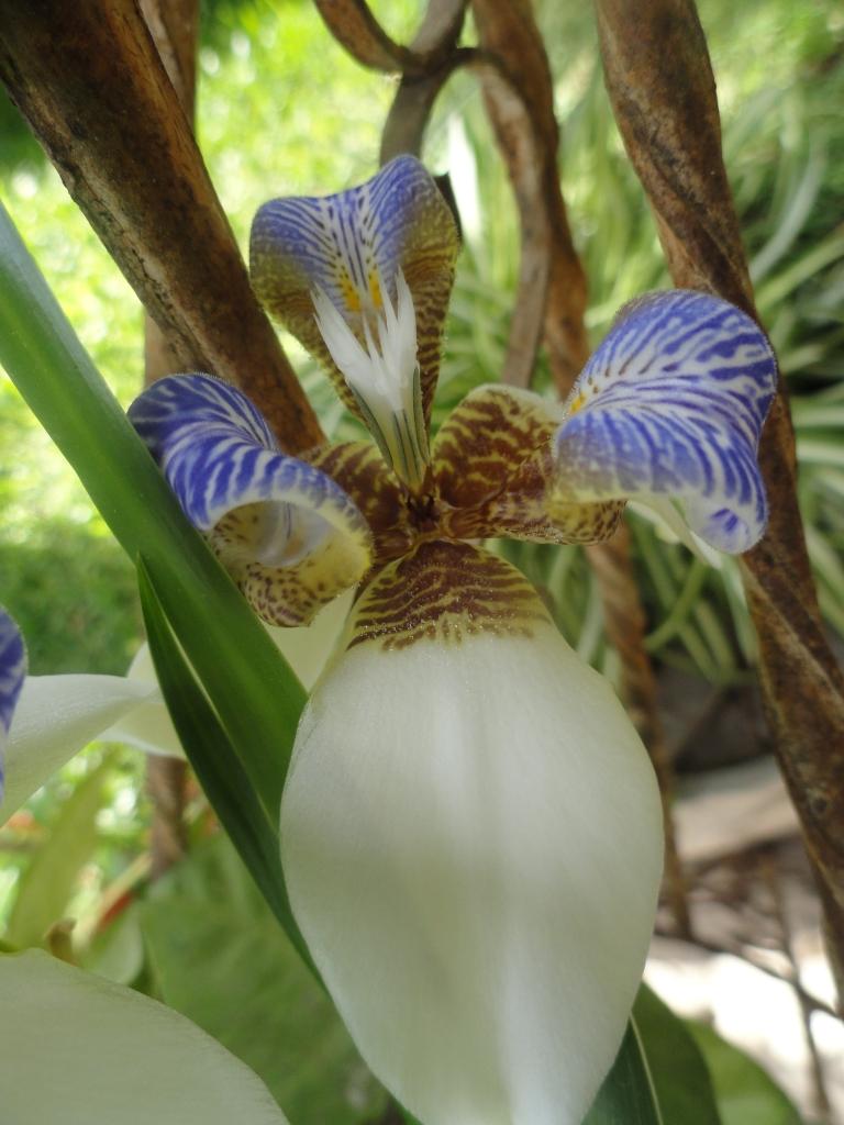 Iris Caminante en mi Jardin-1