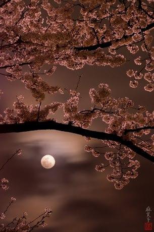 Moon light sakura!!