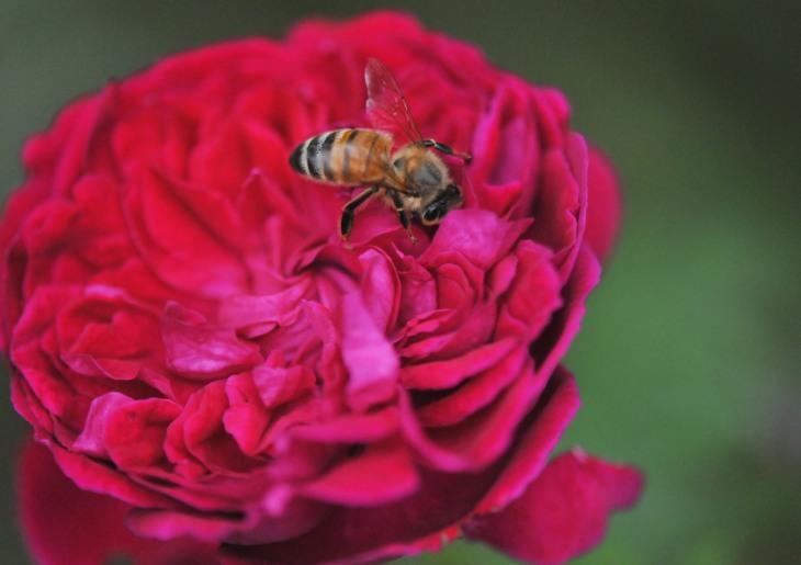 abaja en rosa