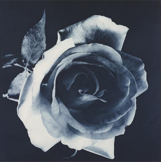 Robert Mapplethorpe  rose two