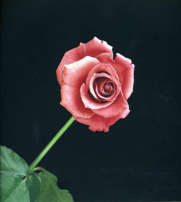Robert Mapplethorpe  rose