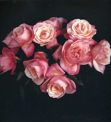 Robert Mapplethorpe  roses