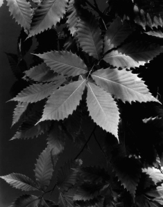 .Chestnut Leaves, 1940s