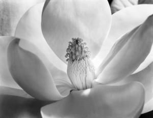 .Magnolia Blossom, 1925