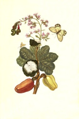 caschou-boom-maria-sibylla-merian-1705-plate-xvi_orig