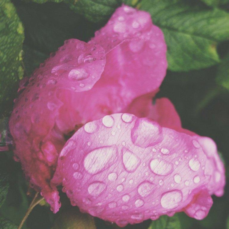Bahia-Pure-Organic-Moroccan-Rose_Water-Roses_1024x1024.jpg