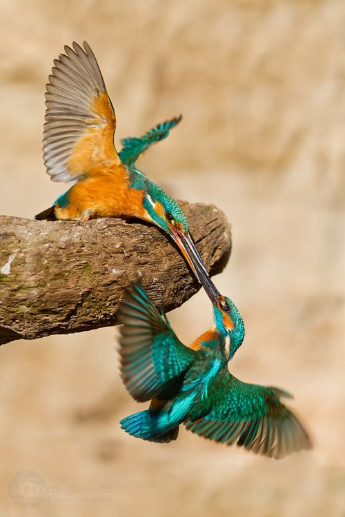 Kissing humming birds Photo by Evzen Takac.jpg