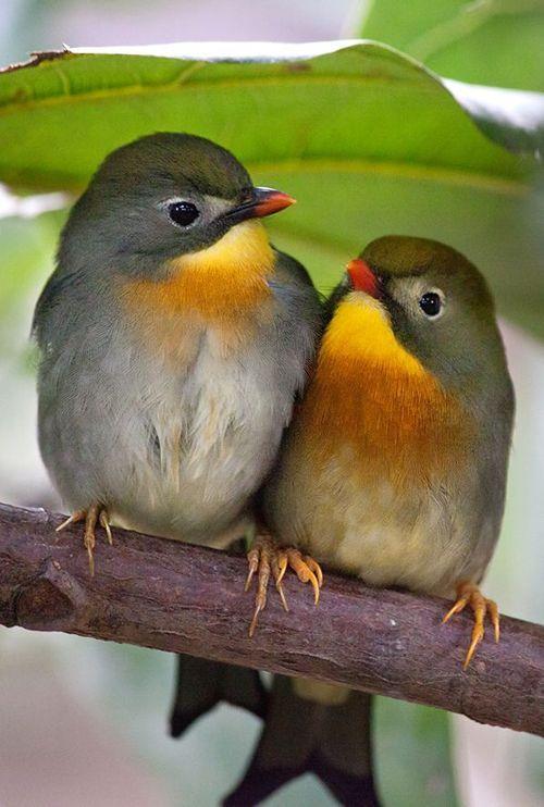 Pekin Robins.jpg