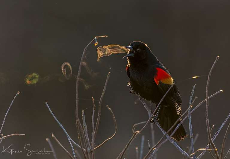 red-winged-blackbird-kathrin-swoboda-1.jpg