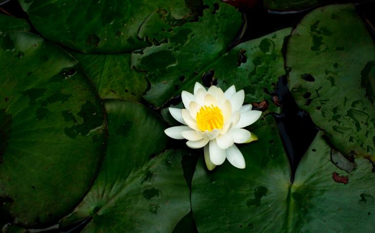 flor-de-loto-plantas-2