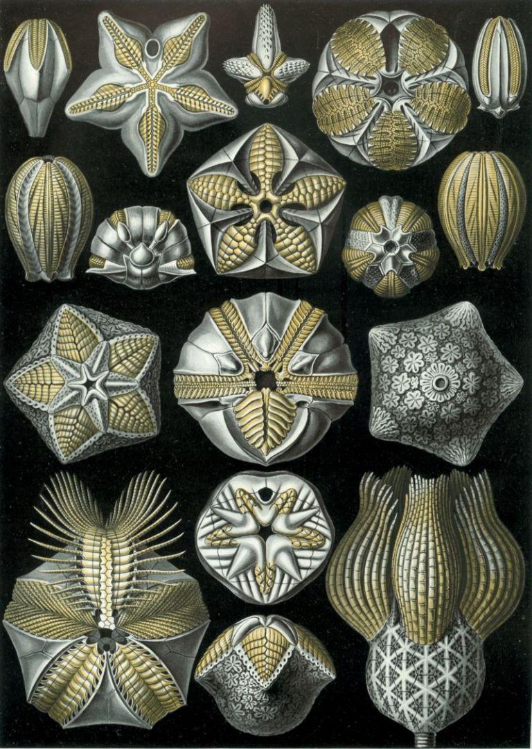 01-Haeckel_Blastoidea-Plate 80, Blastoidea