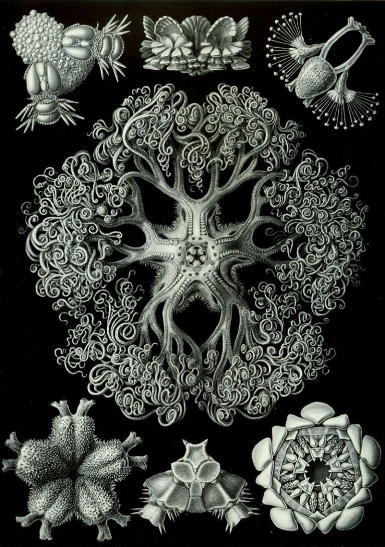 04-Lámina Plate 70, Ophiodea
