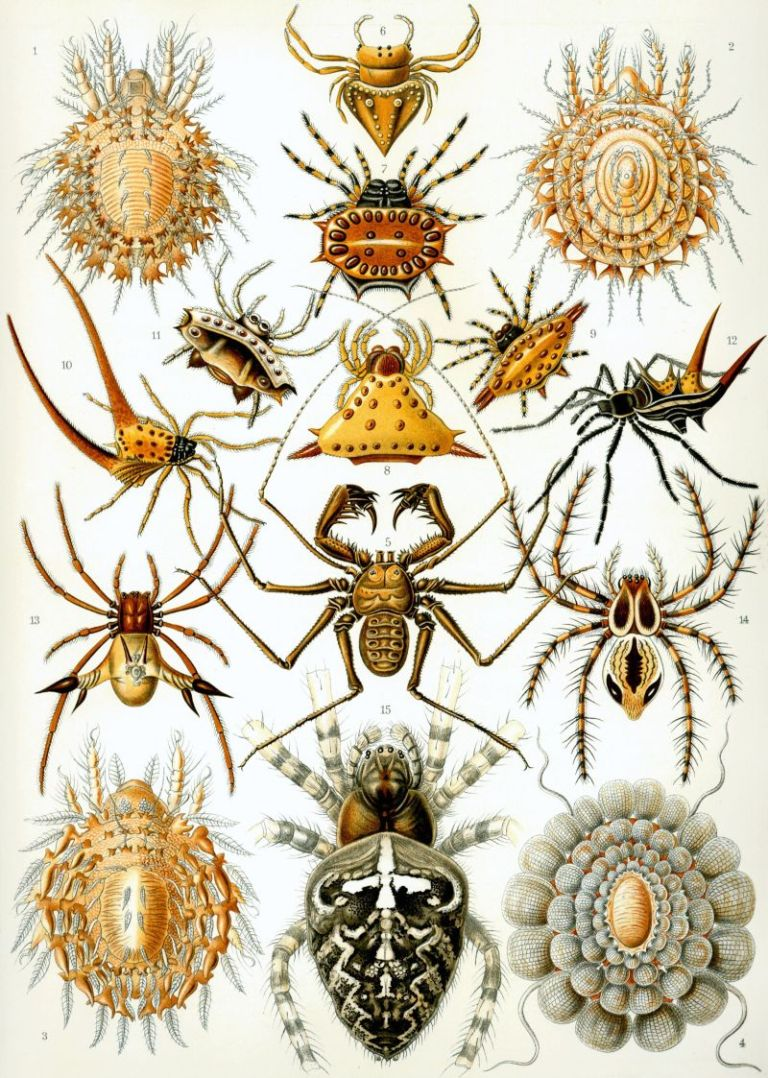 06-Plate 66, Arachnida