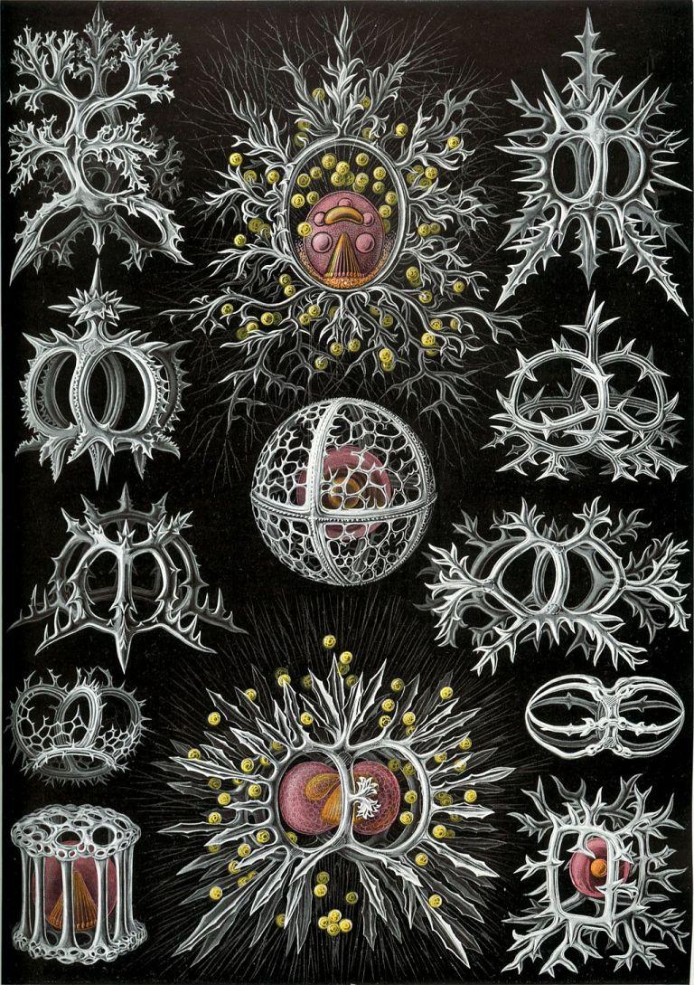 1024px-Haeckel_Discomedusae_5