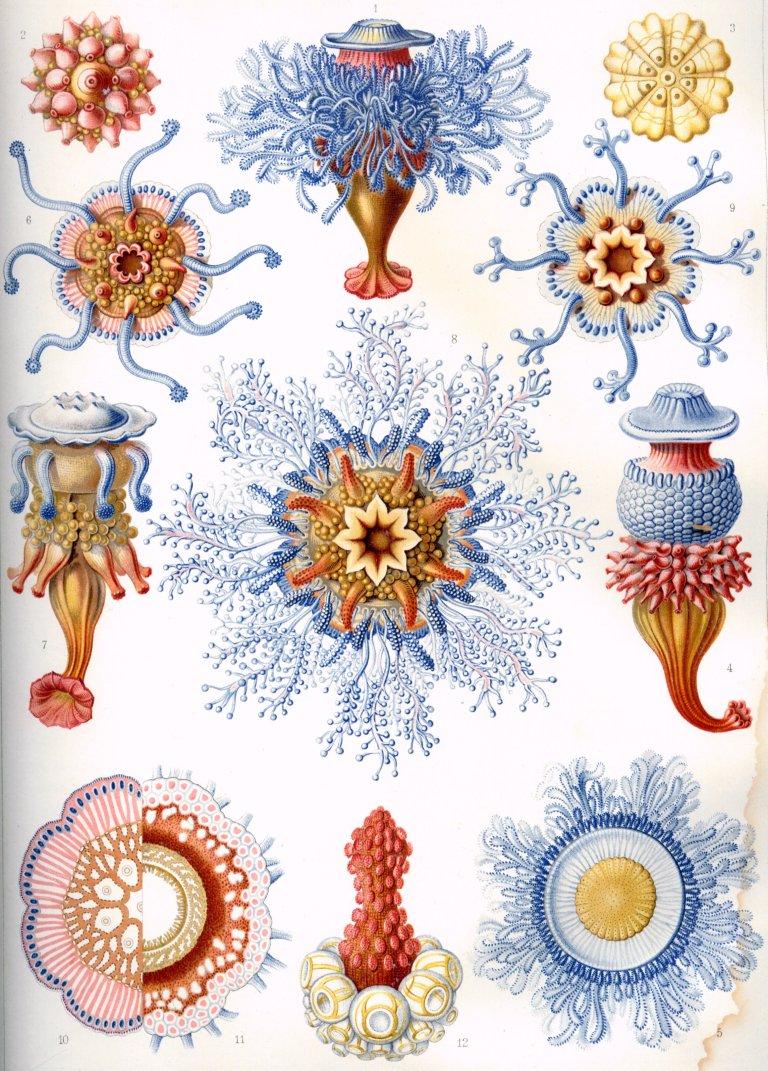 Haeckel_Siphonophorae
